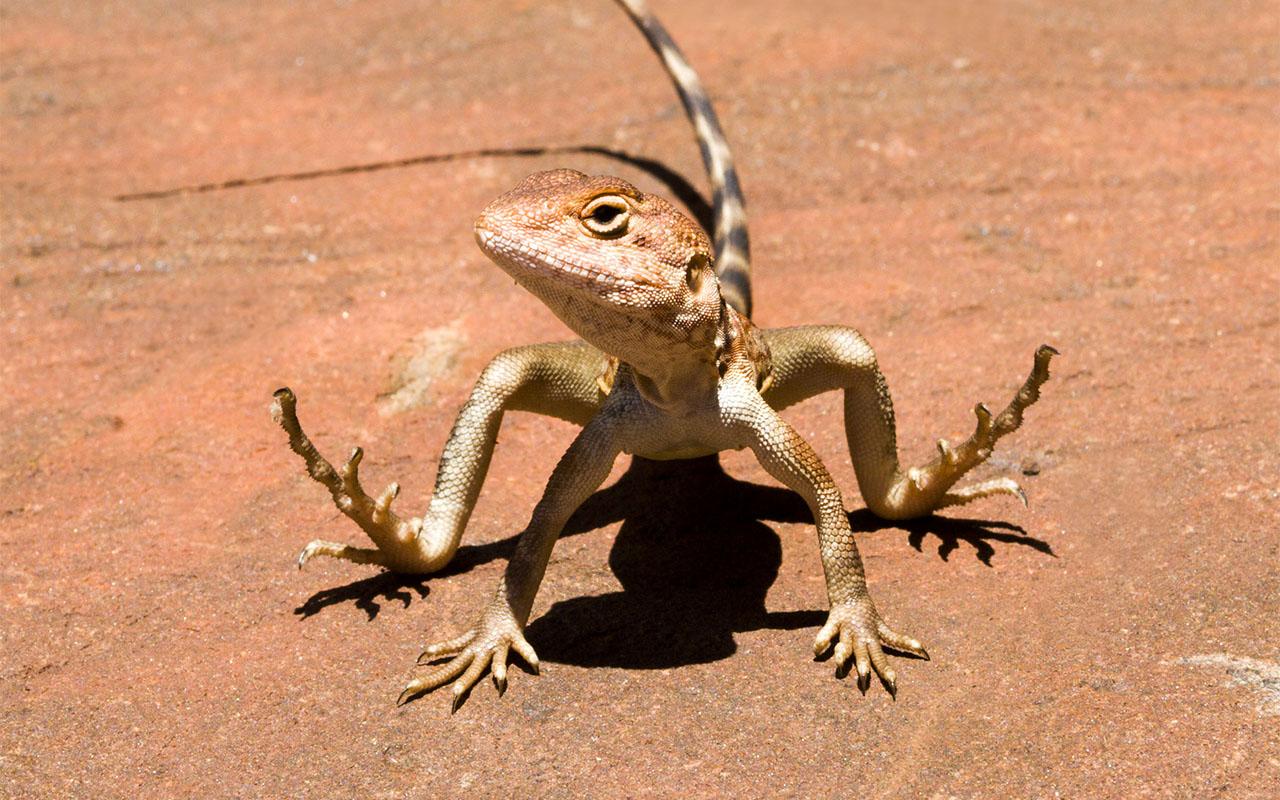 Eidechse (Pilbara Dragon), Australien